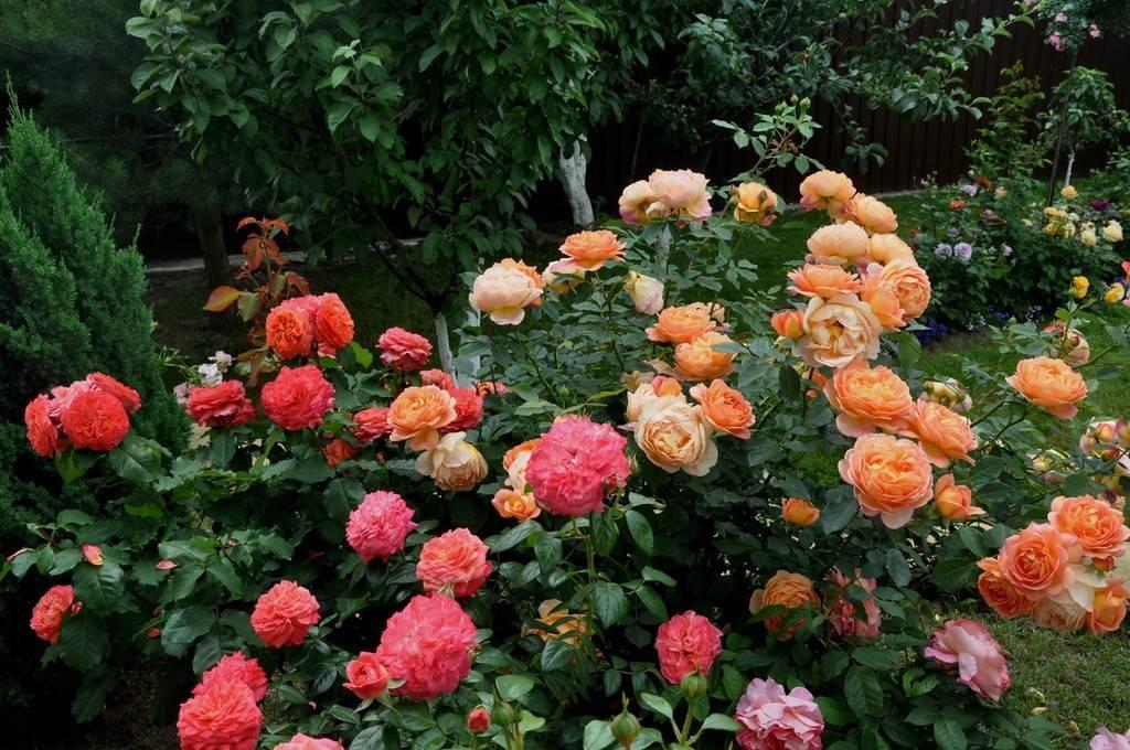 Hearts — чайно-гибридная роза от нидерландских селекционеров компании jan spek nurseries