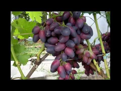 """Виноград """"красотка"""": фото, описание сорта, отзывы"""