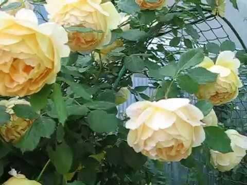 Выращивание классической чайно-гибридной розы голден селебрейшен