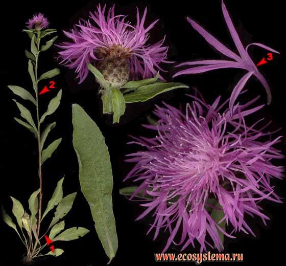 Василек луговой, синий как лекарственное растение: свойства и применение
