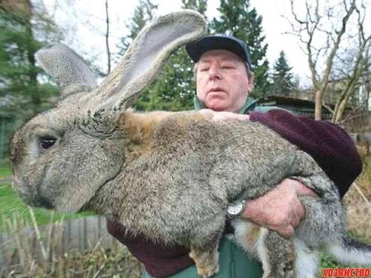 Породы самых больших кроликов в мире