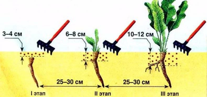 Как посадить хрен в огороде: практические советы по выращиванию
