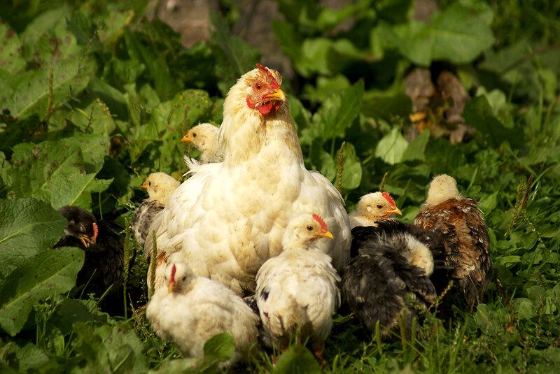 Чем кормить цыплят – рацион, суточных, недельных, месячных цыплят