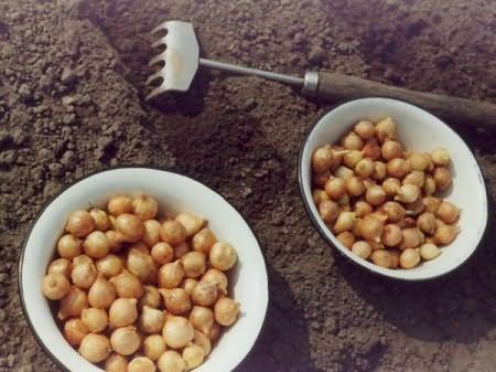 В чем замочить лук перед посадкой, обработка лука в марганцовке и соли