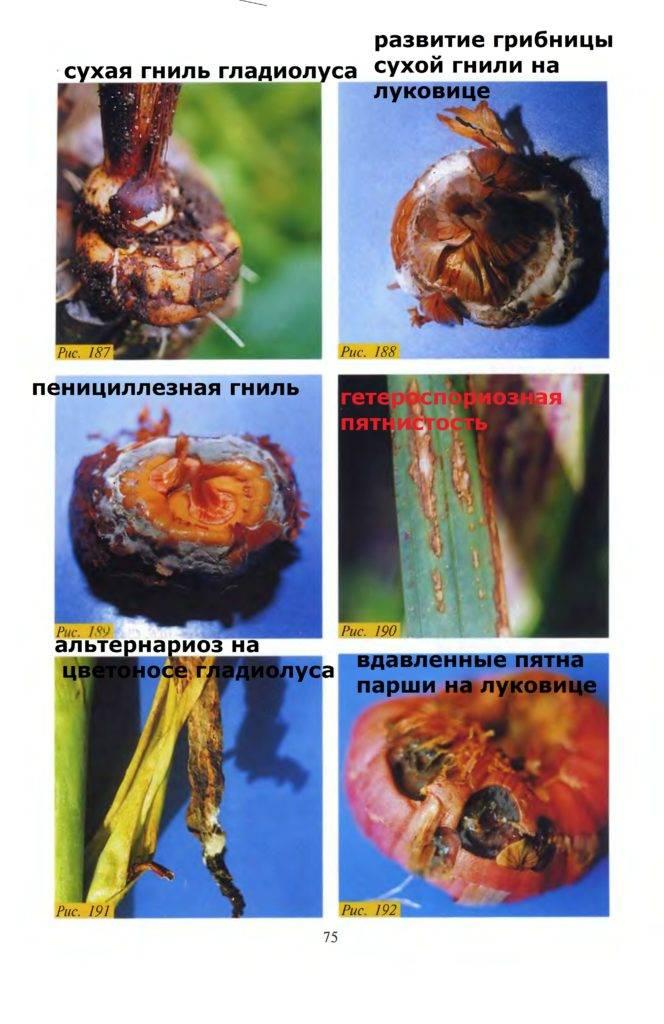 Самые опасные болезни гладиолусов – фото, описание, лечение