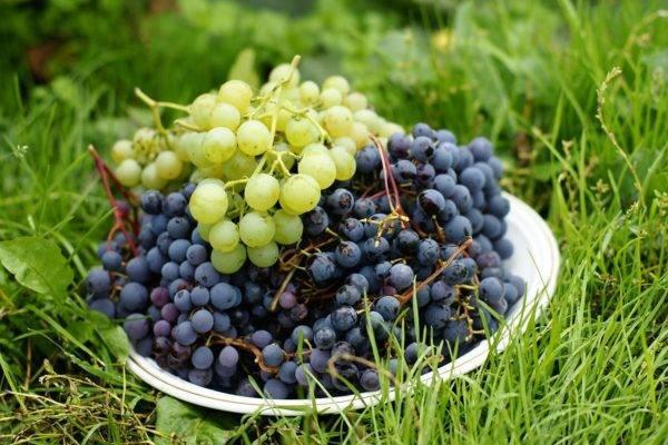 Виноград «краса севера» (21 фото): описание сорта и отзывы