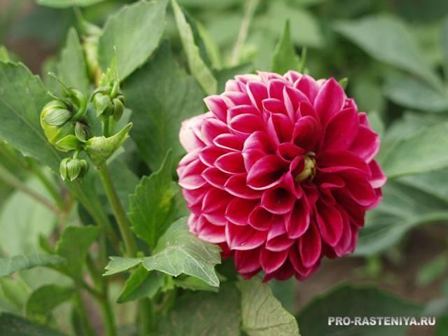 Многолетние цветы георгины: посадка и уход в открытом грунте, фото