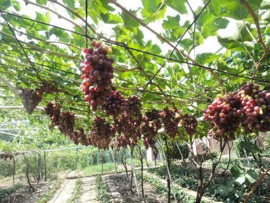 Рукава винограда или как правильно формировать кусты