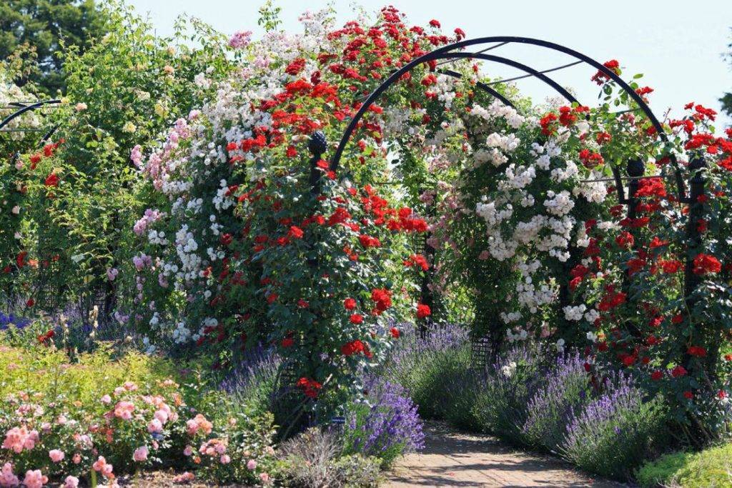 Роза плетистая: посадка и уход в открытом грунте, размножение