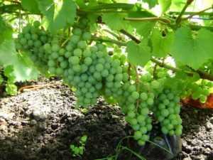 Красота и целительная сила  винограда «княгиня ольга»