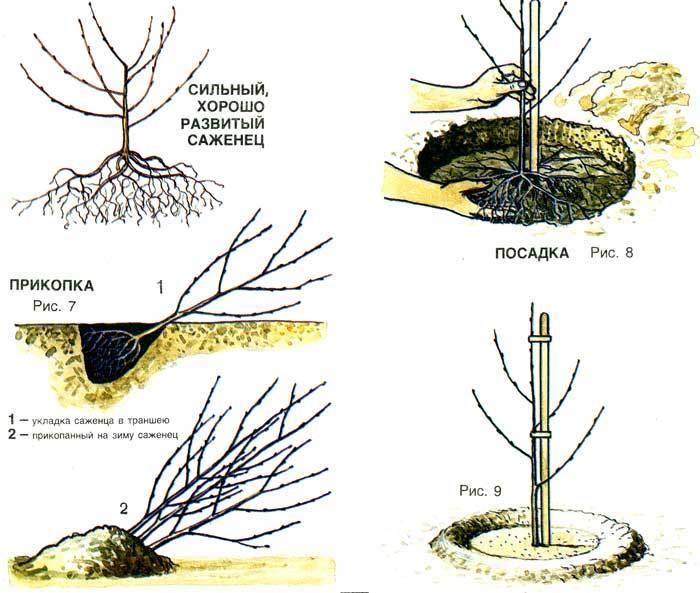 О посадке вишни весной саженцами, как правильно выбрать расстояние