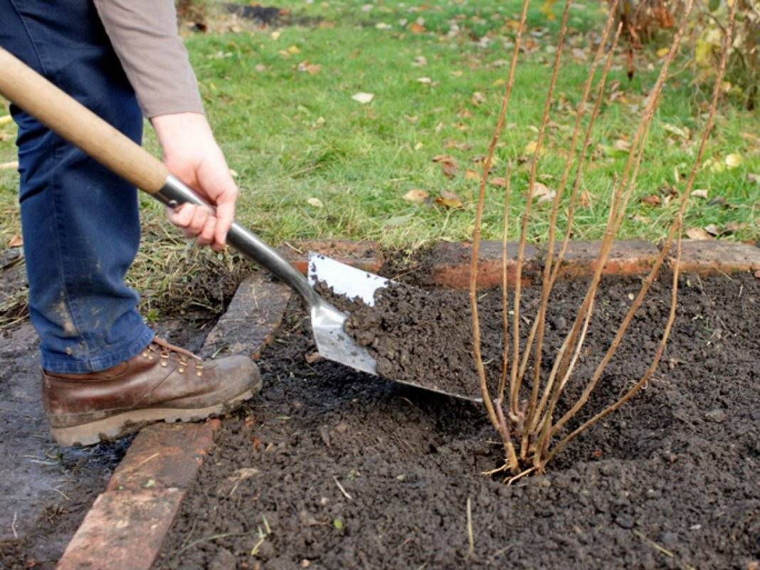 Уход за крыжовником весной: основные мероприятия