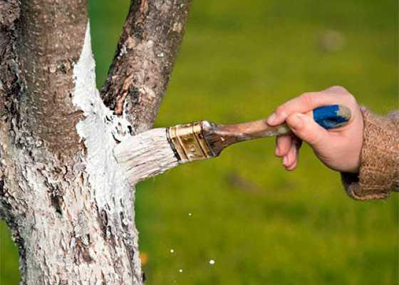 Если треснул ствол у яблони — что делать и как спасти дерево? почему трескается кора на плодовых деревьях и чем лечить почему трескается кора у яблони и сливы.