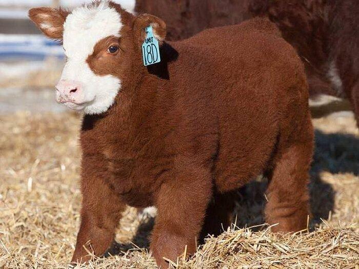 Особенности плюшевой породы коров