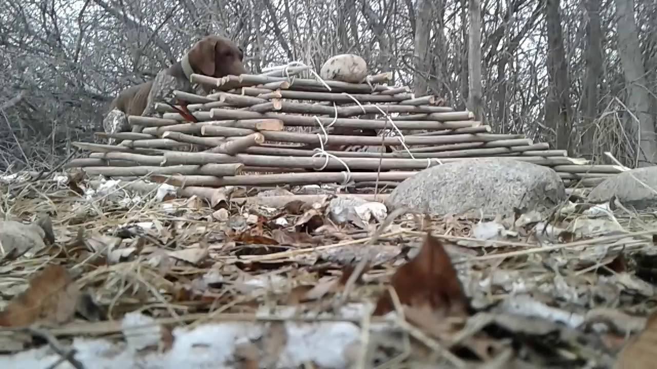 Как поймать фазана: ареал обитания, внешний вид и способы ловли птицы