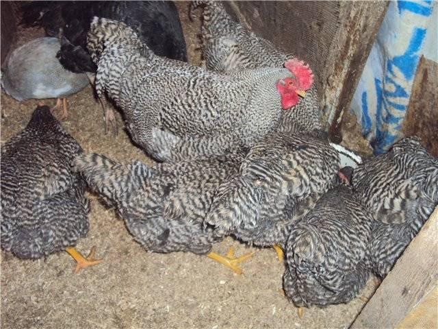 Плимутрок порода кур