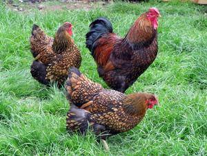 Виандот порода кур: описание и рекомендации по разведению!