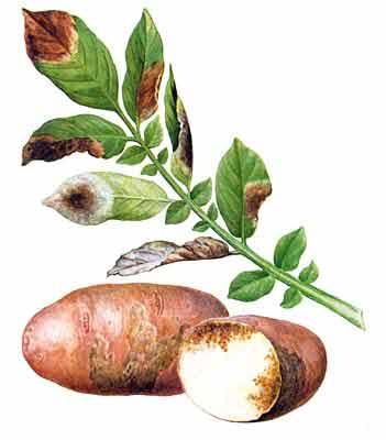 Борьба с фитофторой на картофеле. 3 народных способа, как бороться с фитофторой на картофеле.