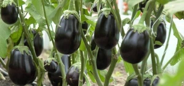 Как вырастить баклажаны на урале: когда сеять семена на рассаду и когда лучше осуществлять посадку в открытый грунт или теплицу?