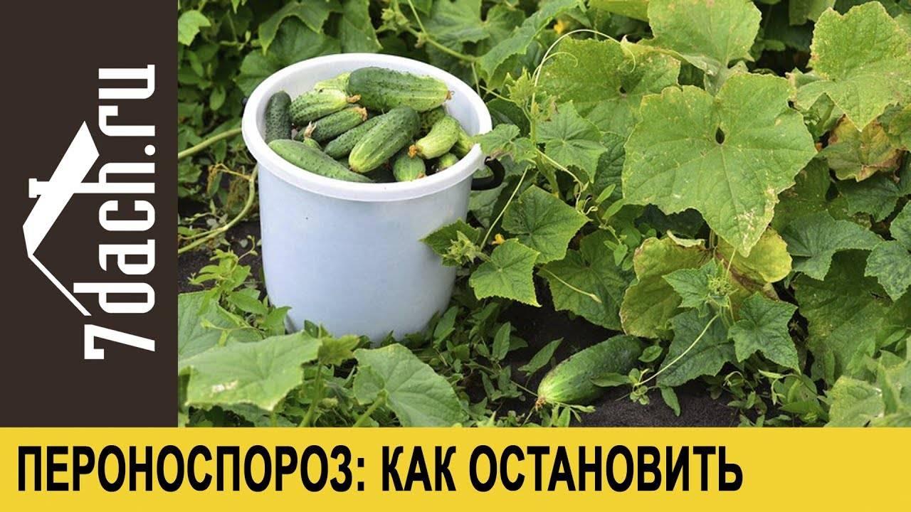 Ложная мучнистая роса или пероноспороз огурцов: симптомы, лечение и профилактика