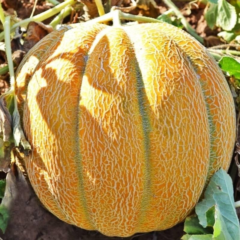 Эфиопка дыня выращивание