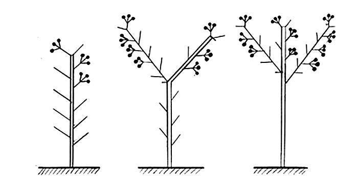 Как правильно формировать баклажаны в теплице