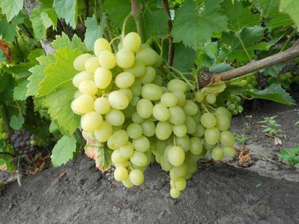 Виноград надежда азос: особенности и описание сорта