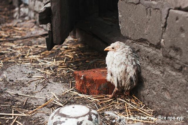 Симптомы и лечение кокцидиоза у цыплят и кур - общая информация - 2020