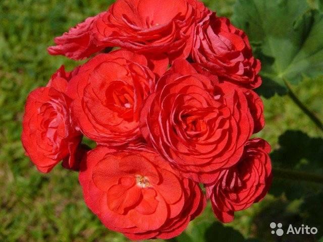 Пак вива розита пеларгония уход