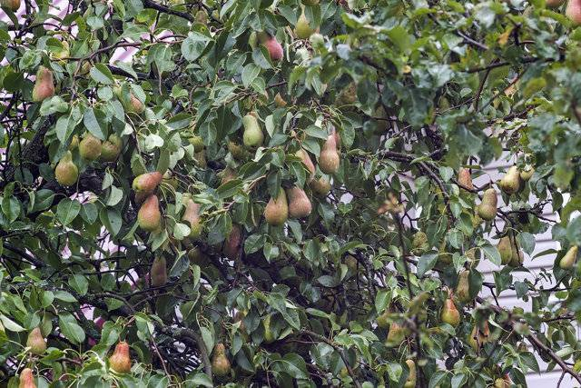Брянская красавица: груша вашего сада