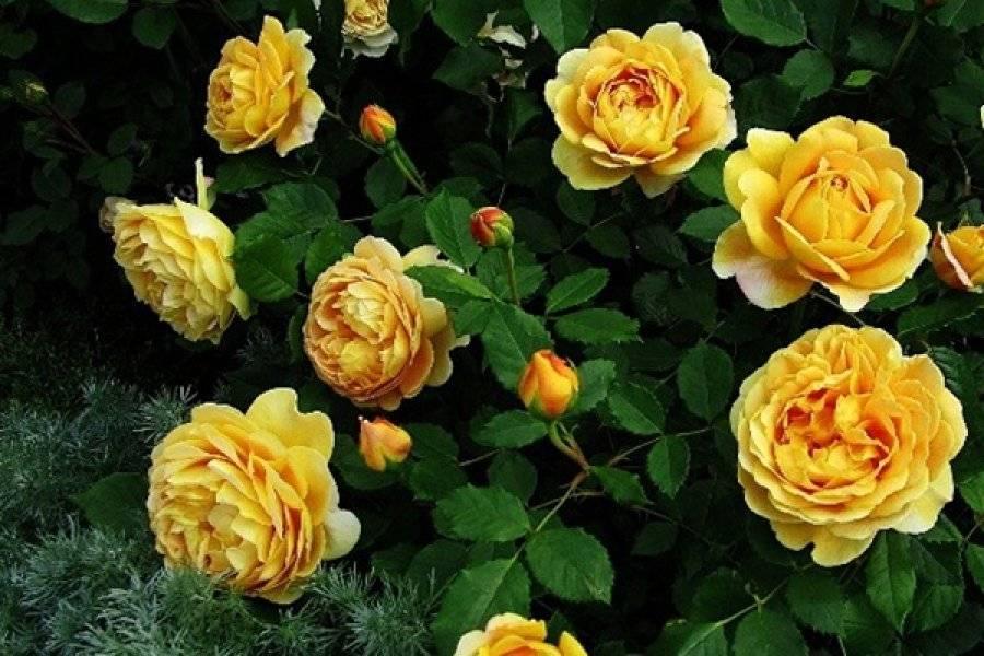 Роза голден селебрейшен (golden celebration)