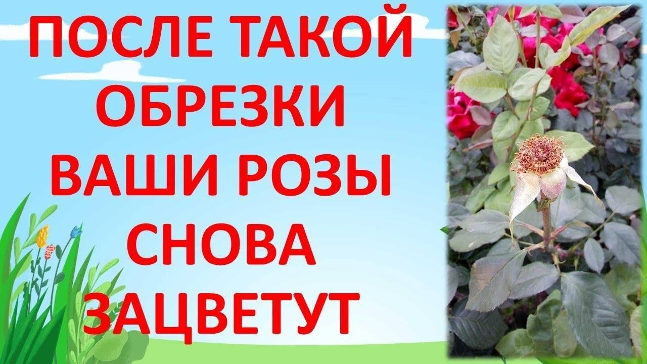 Об обрезке роз после цветения летом, чтобы они снова зацвели: правила ухода