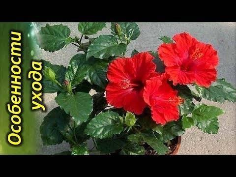 Удобрения для комнатных роз: чем подкормить цветы в горшке весной, летом и осенью, как часто это делать в домашних условиях и каких ошибок лучше не допускать?