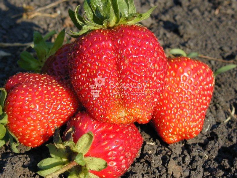 О сорте клубники Гигантелла: описание, агротехника выращивания, как ухаживать