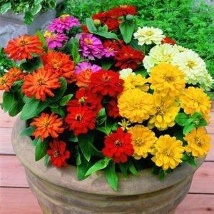 Выбираем эффектные виды и сорта цинии – аристократического цветка для вашего сада