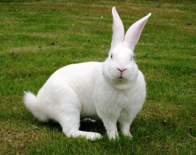 Лучшие мясные породы кроликов и их описание