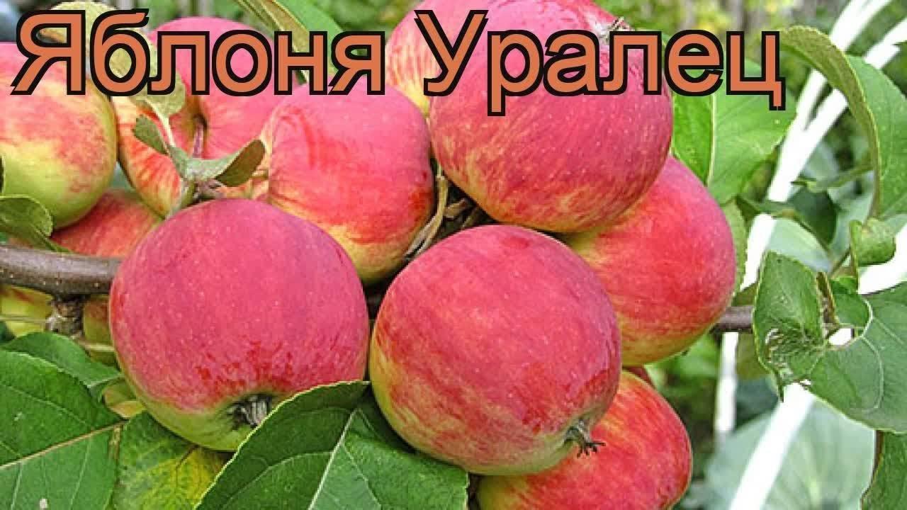 Зимостойкая и высокоурожайная яблоня уралец