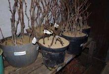 Как хранить зимой и проращивать весной черенки винограда