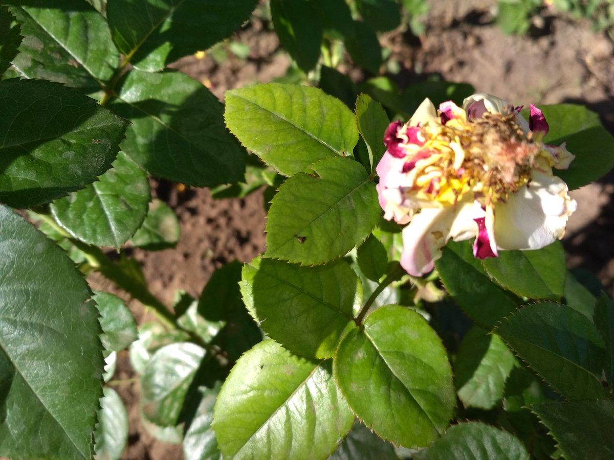 Чем подкормить розы в августе - суперфосфатом, борной кислотой, водкой