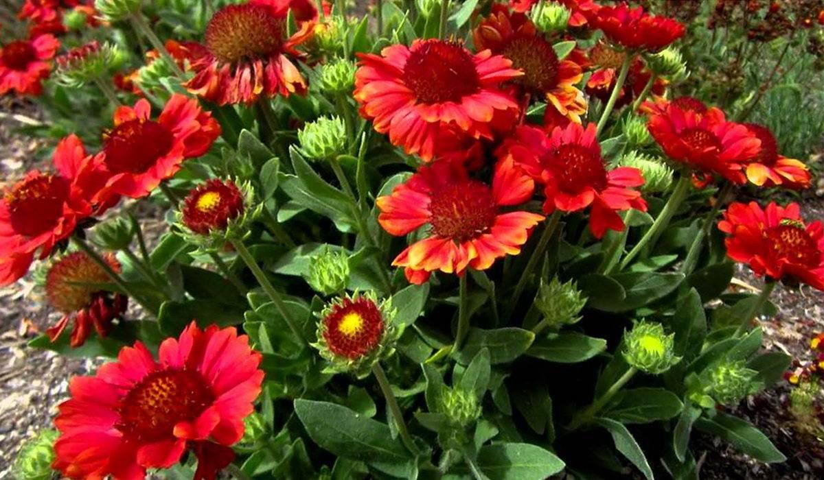 О цветке гайлардия: описание растения, основные характеристики, применение