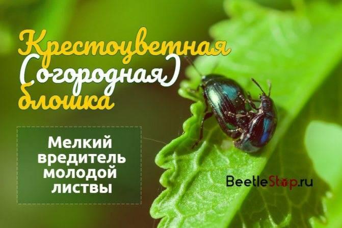 Что делать, если на редиске черные блошки: как защитить редис от вредителей