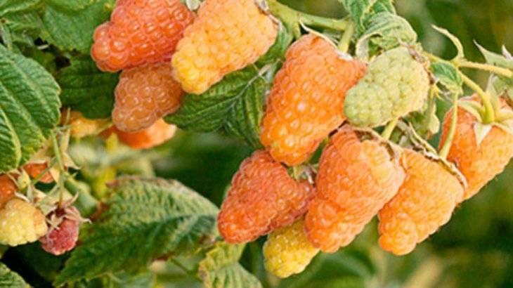 Ремонтантная малина оранжевое чудо – совершенный сорт и гордость российских селекционеров