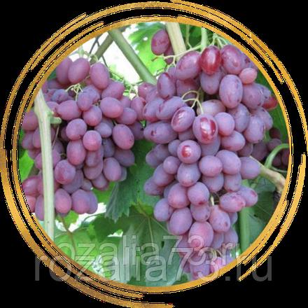 Особенности сорта румба (винограда)