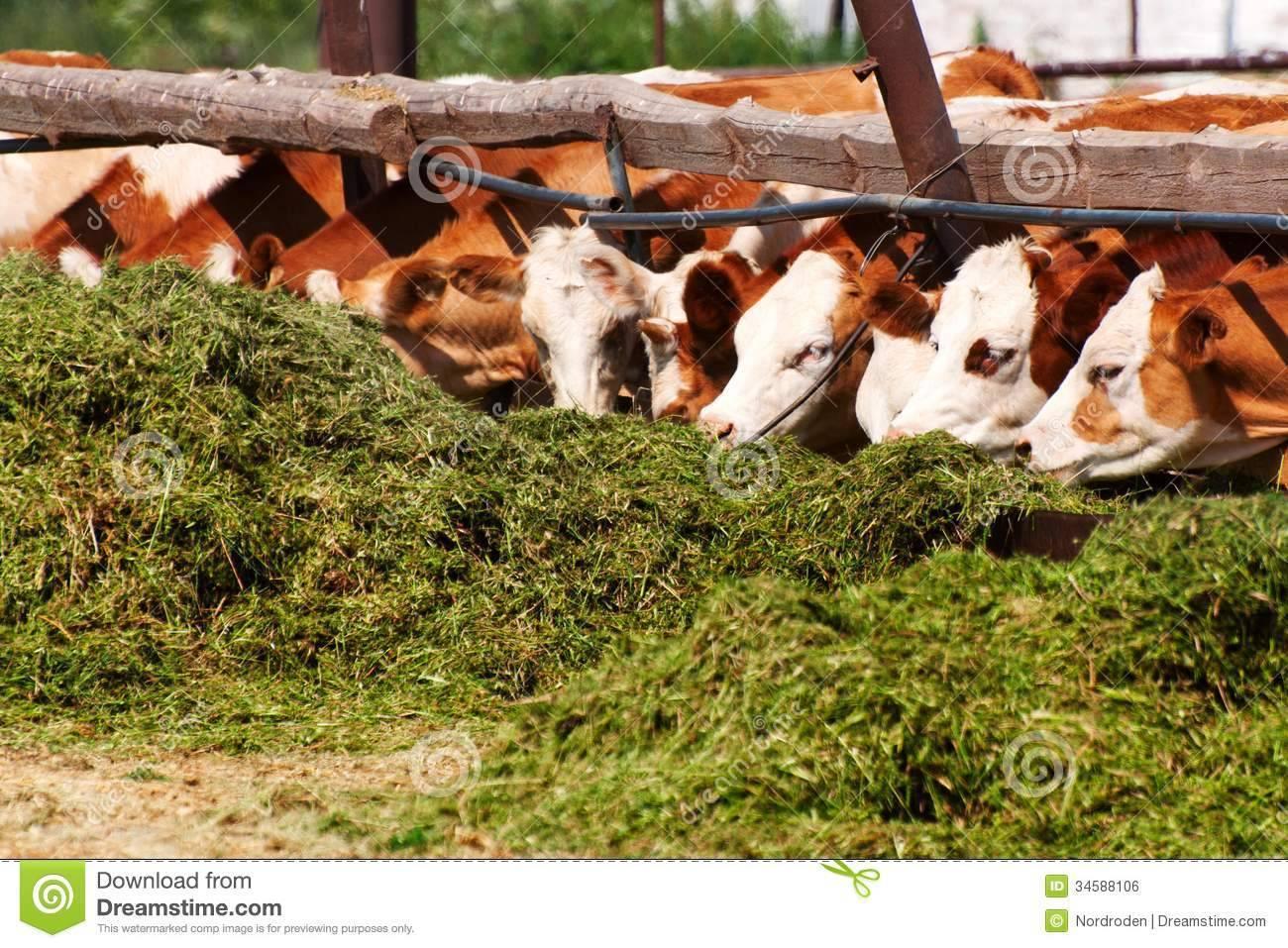 Когда появляется молоко у коровы: способы улучшения молочной продуктивности, особенности первого доения
