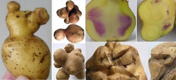 Описание основных болезней картофеля