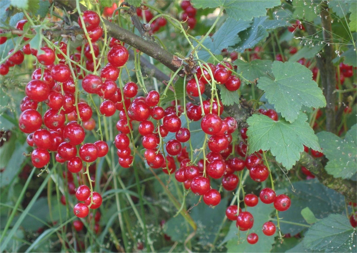 Красная смородина ранняя сладкая - обильный урожай в начале лета