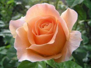 Розы: уход и выращивание в саду
