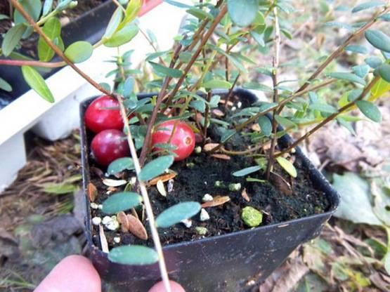 Клюква садовая - посадка и уход, выращивание из семян и черенками