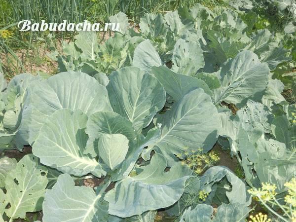 Можно ли поливать капусту мочевиной. подкормка капусты – чем удобрять капусту, схема подкормки. подкормка капусты минералами после посадки в грунт