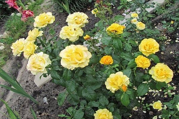 Роза керио: описание и фото сорта, история возникновения, цветение и использование в ландшафтном дизайне, уход и размножение, болезни и вредители